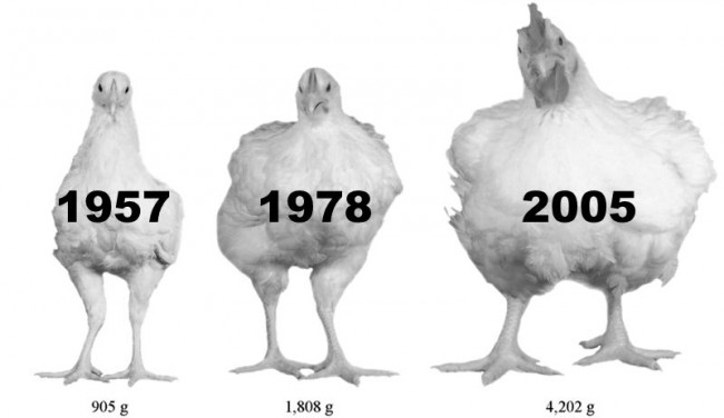 giant_chickens.0