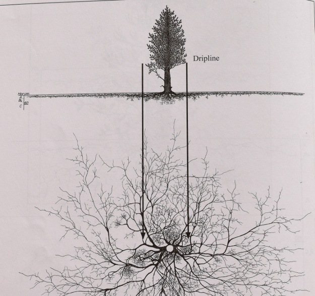 pinus-cembra-root-system-090815-008