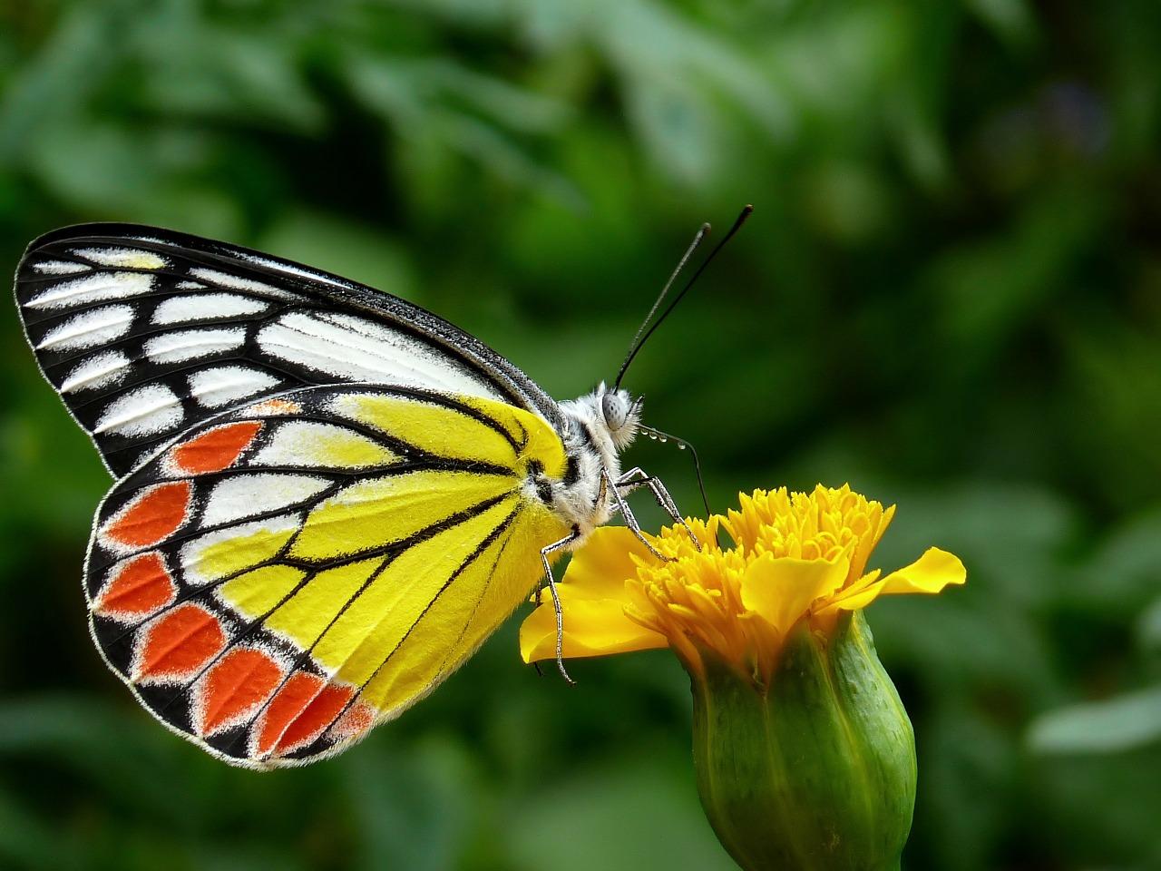 Größte Insektenstudie Nordamerikas: Ein Drittel der Schmetterlinge ist verschwunden