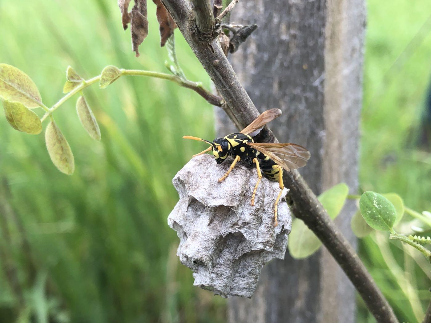 Kleine Wespennester in der Agroforst-Baumreihe