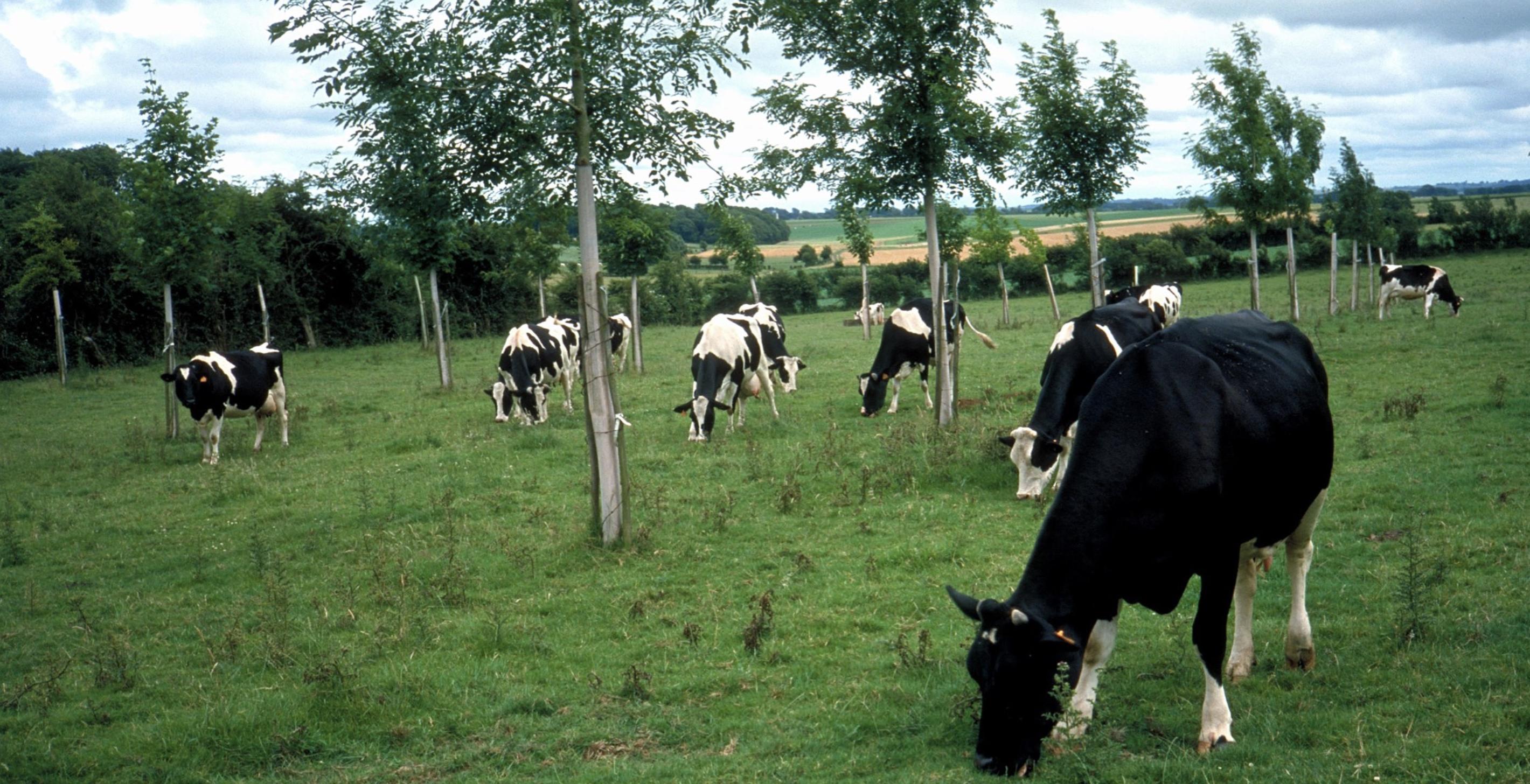 Silvopasturale Untersuchungen in UK – Agroforstwirtschaft