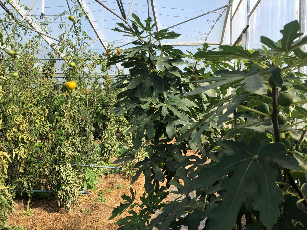 Auf gute Nachbarschaft: Feige und Tomate im Gewächshaus
