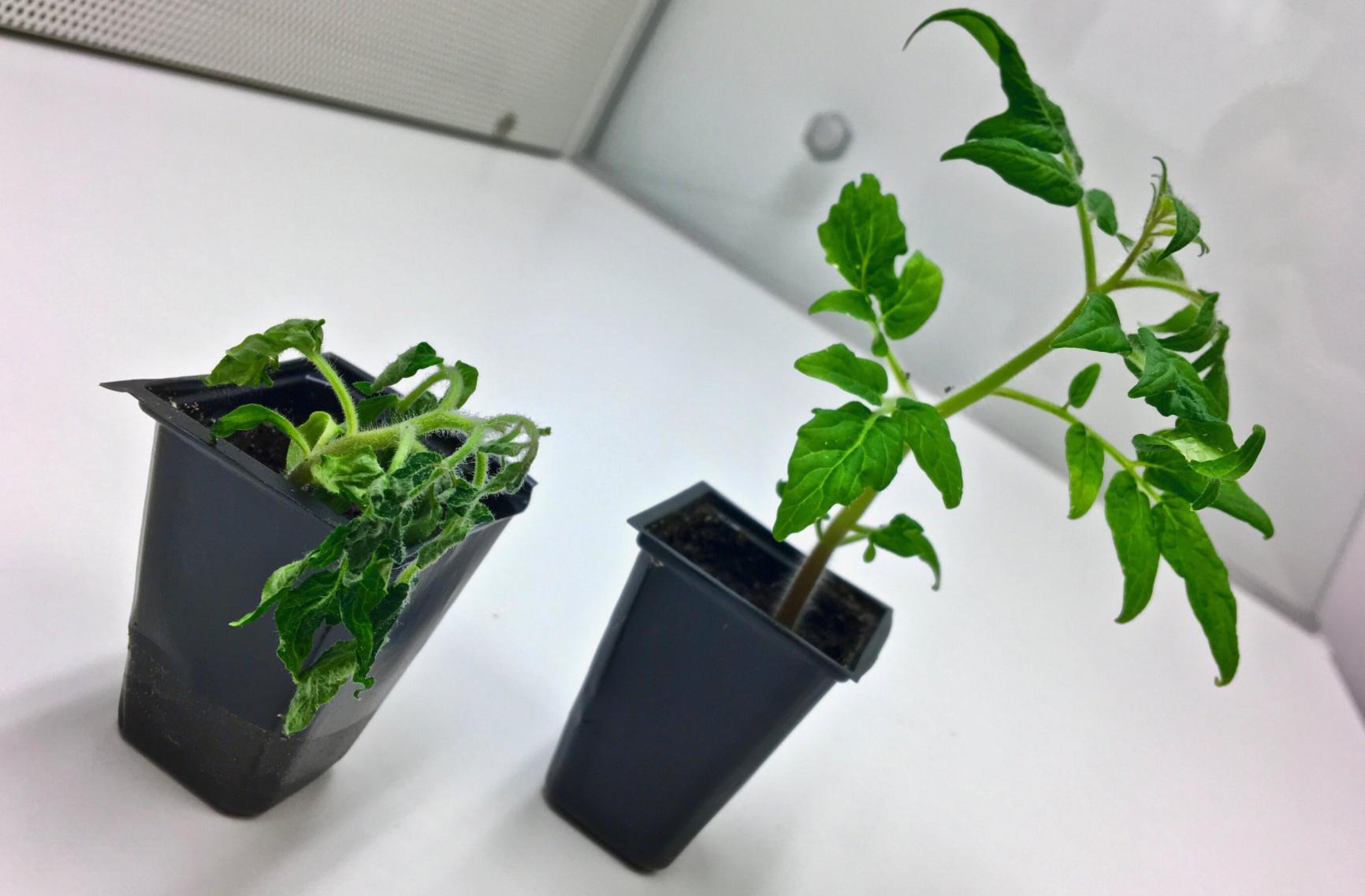 Forschungen zeigen, dass Bodenmikroben eine Schlüsselrolle bei der Resistenz gegen Pflanzenkrankheiten spielen