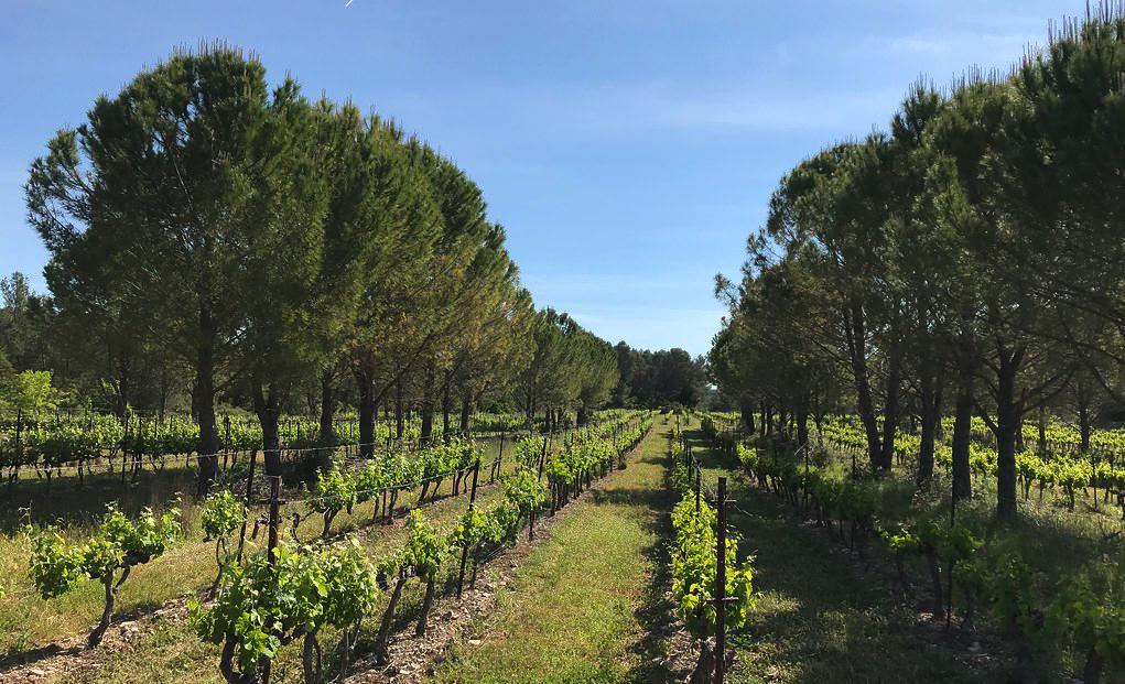 Artikel: Besserer Wein unter Pinien. Weinanbau und Agroforstwirtschaft in Zeiten des Klimawandels
