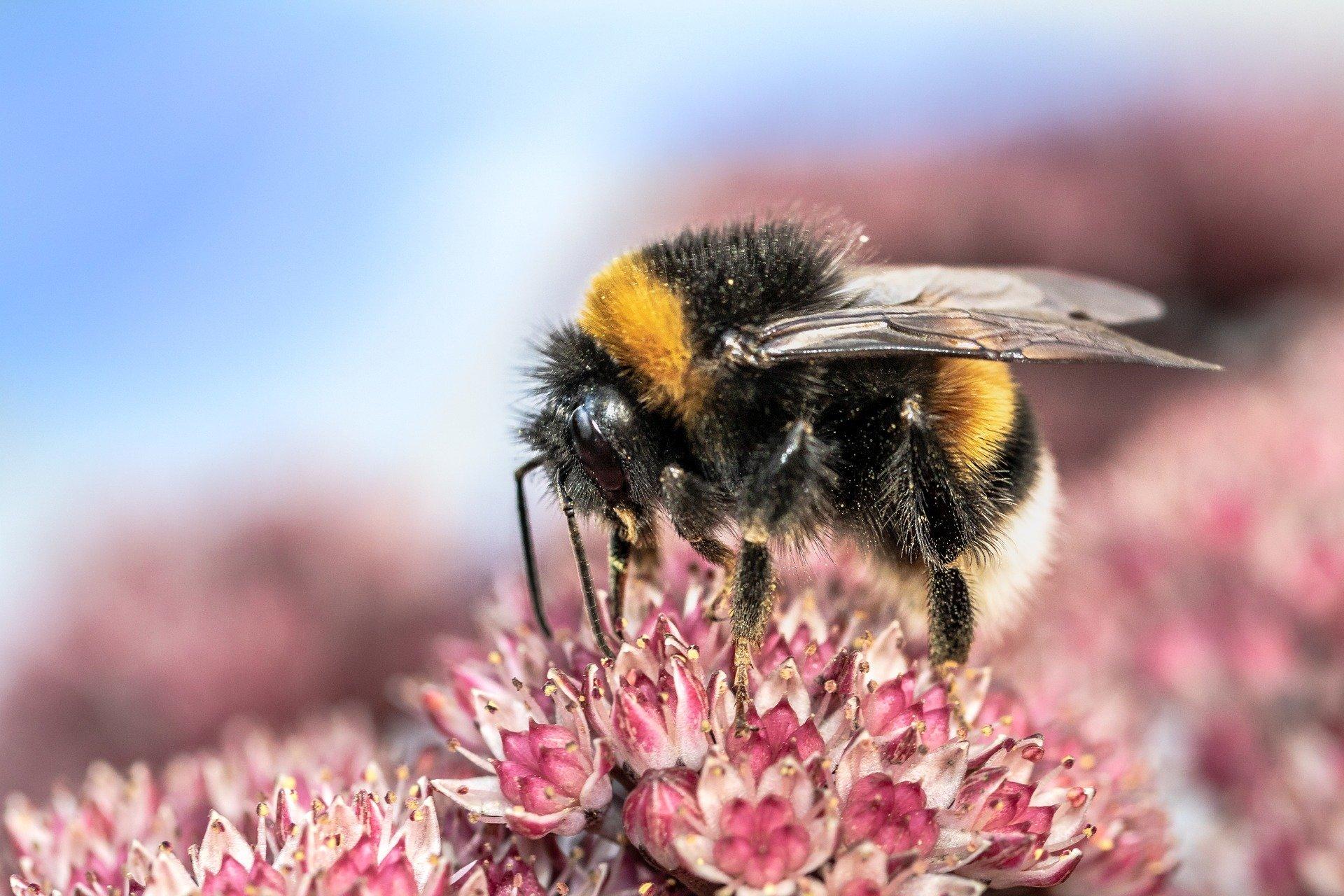 Artikel: Hummeln beschädigen Pflanzenblätter und beschleunigen die Blütenproduktion bei Pollenknappheit